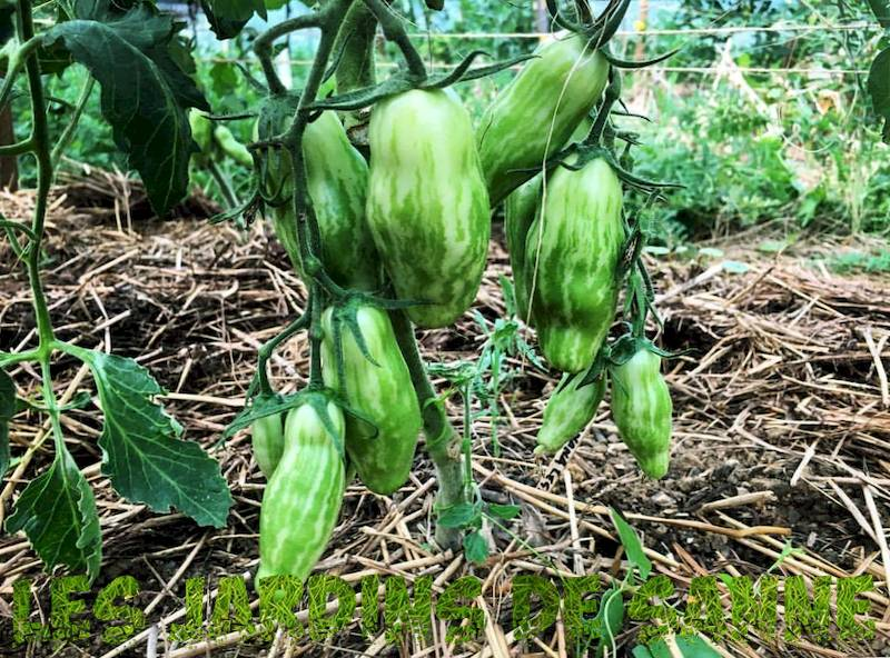Schimmeig Striped Hollow Tomatoes - How To Grow Schimmeig Tomatoes For Fyldning