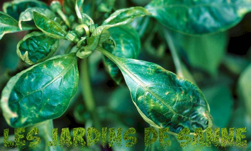 Hot Pepper Pests - Information om Common Pepper Plant Bugs