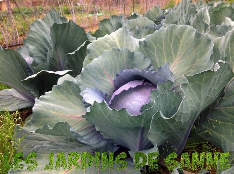 Red Express Cabbage Seeds: How To Grow Red Express Cabbages