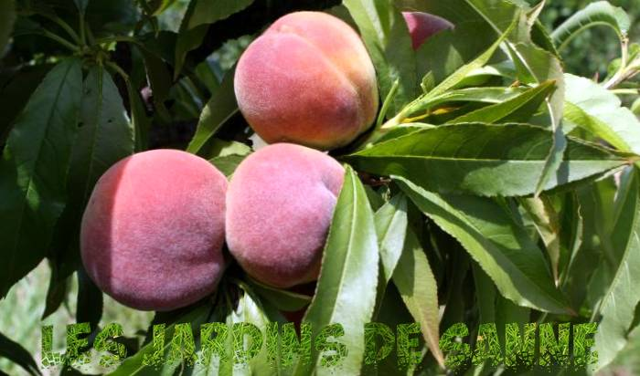 Honey Babe Peaches: Tips til opdræt af en Honey Babe Peach Tree