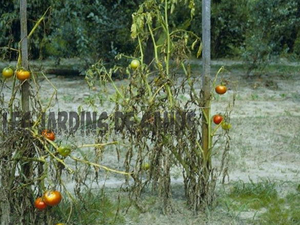 Fusarium Wilt Disease: Tips til styring af Fusarium Wilt On Plants