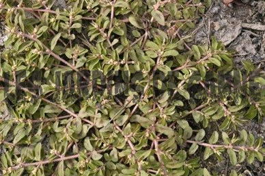 Tips til Spotted Spurge Control
