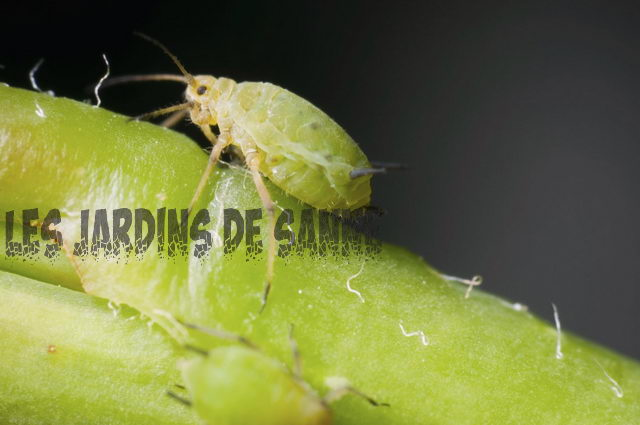 Greenfly Information: Greenfly Aphid Control i haven