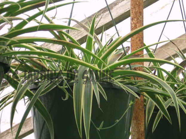 Spider Plant Ground Cover Outdoors: Voksende Spider Planter Som Ground Cover
