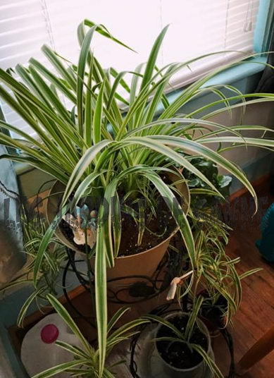 Spider Plant Problemer: Tips til at få Spiderettes på planter