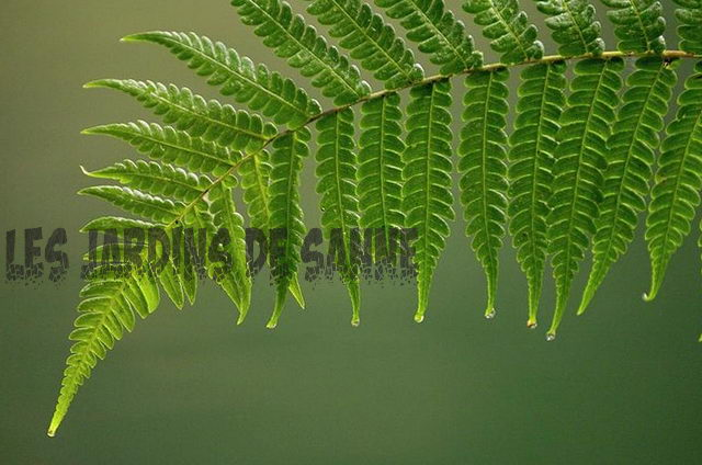 Boston Fern med sorte fronds: Reviving Black Fronds på Boston Ferns