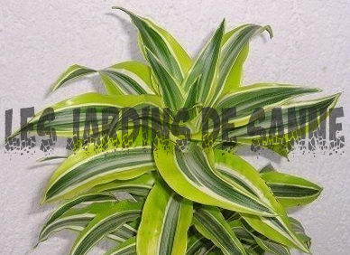 Low Allergy Houseplants: Hvilke houseplants lindre allergier