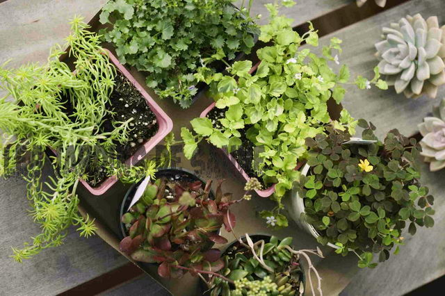 Overgroede Containerplanter: Tips til Repotting A Large Plant