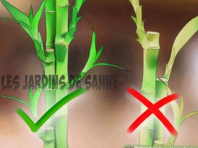 Grow Lucky Bamboo Inside - Tips til pleje af Lucky Bamboo Plant