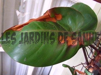Brown Philodendron Leaves: Hvorfor er mine Philodendron Leaves Turning Brown