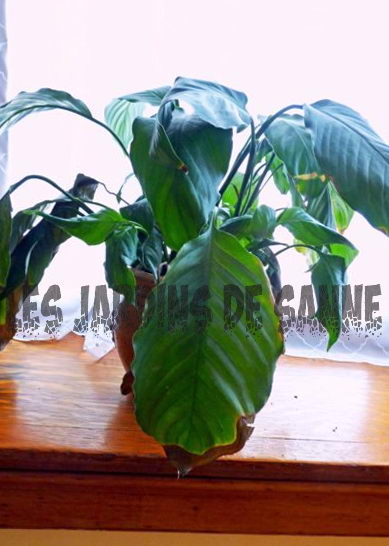 Brown Peace Lily Tips - Grunde til fred Lilies Få Brown Tips