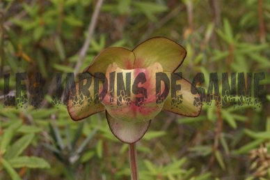 Pitcher Plant Frø: Guide til Pitcher Plant Seed Growing